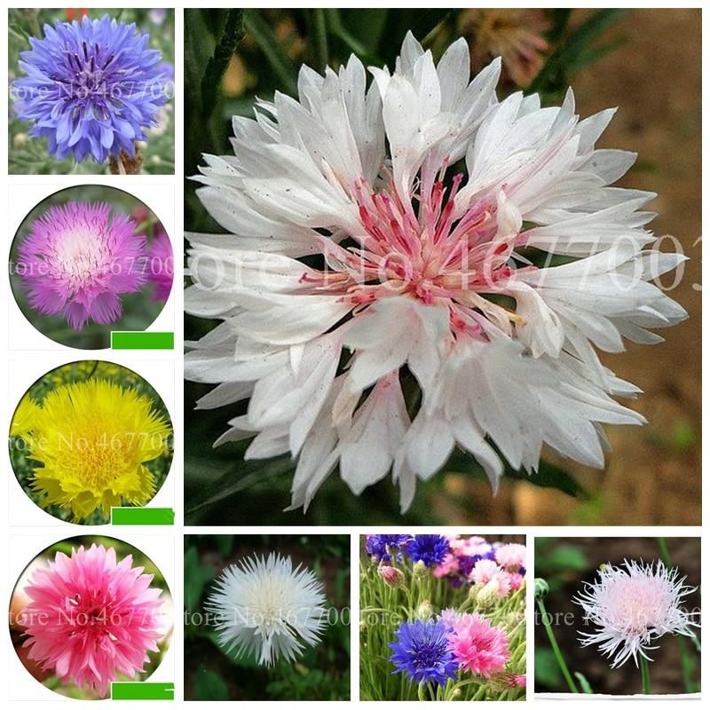 Beautiful Cornflower(Centaurea Cyanus)Flower BonsaiBlue Centaurea Cyanus Excellent Cut Flore For Home Garden Plant 100 Pcs/ Bag