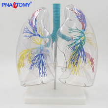 Enlarged human segmental lungs model respiratory organs anatomy transparent anatomical models medical teaching tool bronchus anatomical male genital organs model
