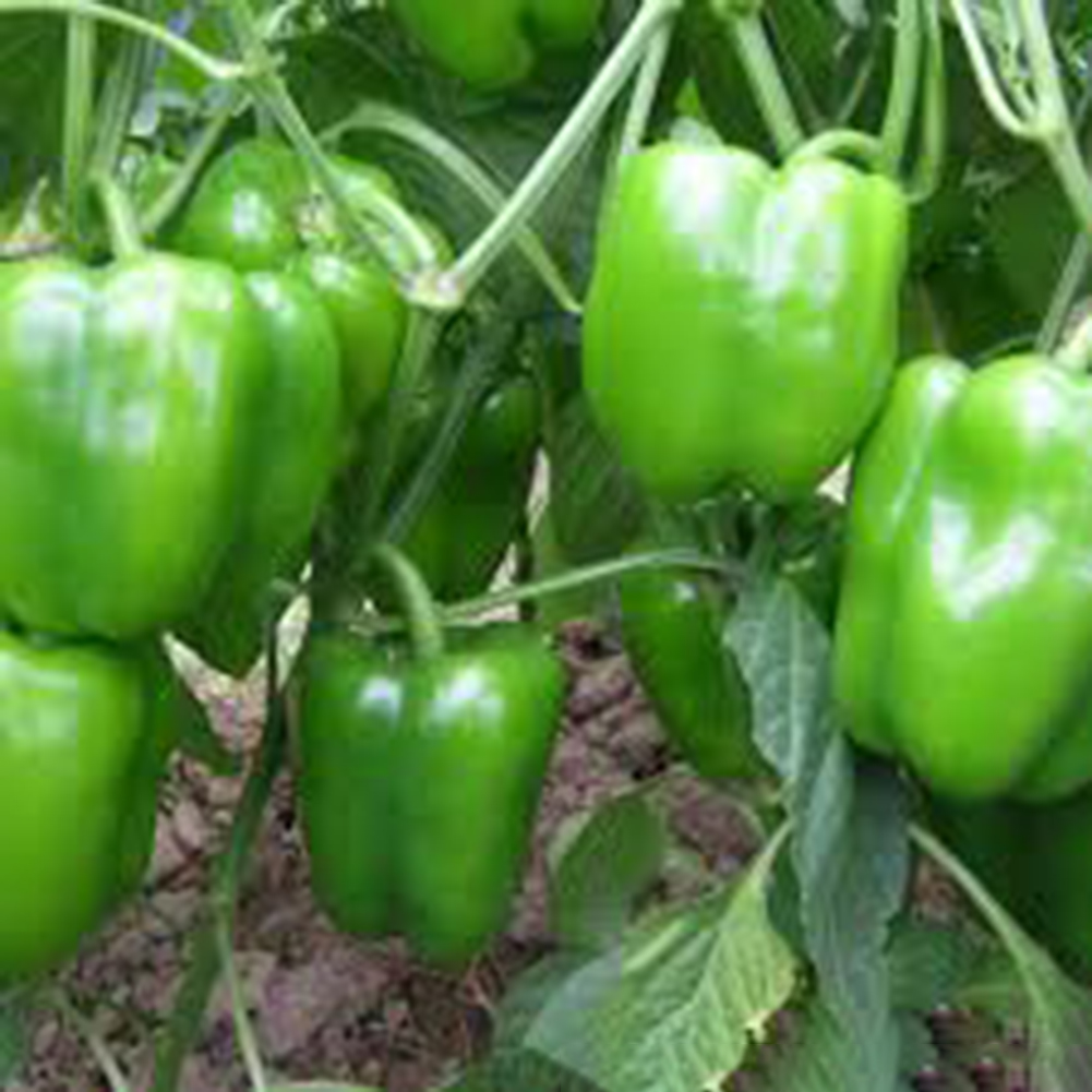 100pcs Bell Pepper Seeds Sweet Vegetables Bonsai Plants Chili Seeds DIY Garden Supplies