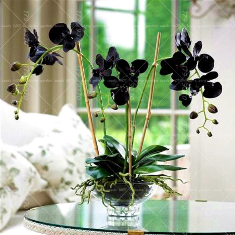50pcs Bonsai Flower Black Orchid Bonsai Beautiful Phalaenopsis Orchid Indoor Flowering Home Garden Plants Pot Flower Plants Buy At The Price Of 0 38 In Aliexpress Com Imall Com