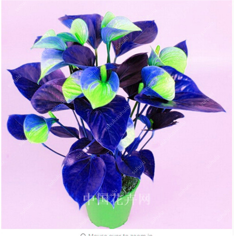 BonsaiI 100pcs/bag Flower Plants Anthurium Andraeanu Plants Balcony Potted Diy Plant Anthurium Bonsai For Home Garden Decoation