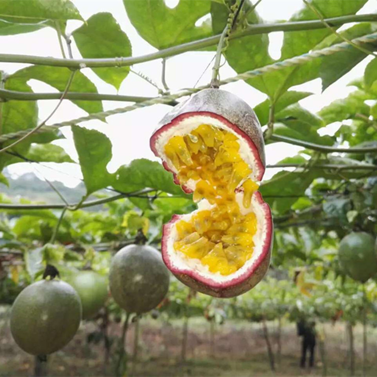 Nursery Direct Selling Zixiang One passiflora edulia sims miao South Fruit Passion Fruit Seedling Passion Flower Fruit Tree Seed