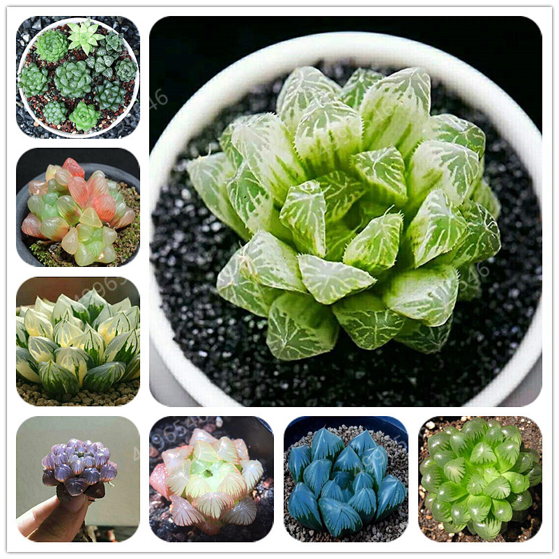 200Pcs Beauty Mixed Mini Lithops Bonsai Plants Cactus Bonsai Plants Organic Garden Succulent Bonsai Balcony Flower Planting