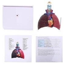 생활 크기 인간 폐 모델 해부학 호흡기 시스템 해부학 과학 자원 연구 디스플레이 교육 너무