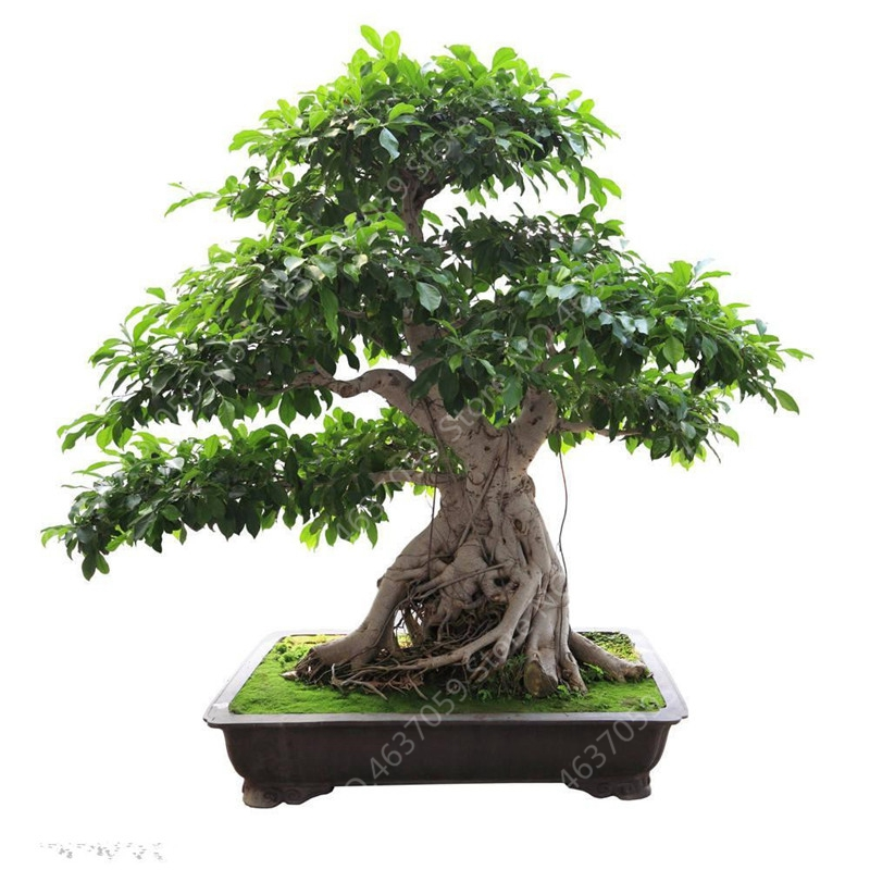 10 Pcs Imported Bodhi Tree Religiosa Potted Garden Moraceae Perennial Outdoor Sacred Fig Bonsai Semi-Evergreen Ficus Plant