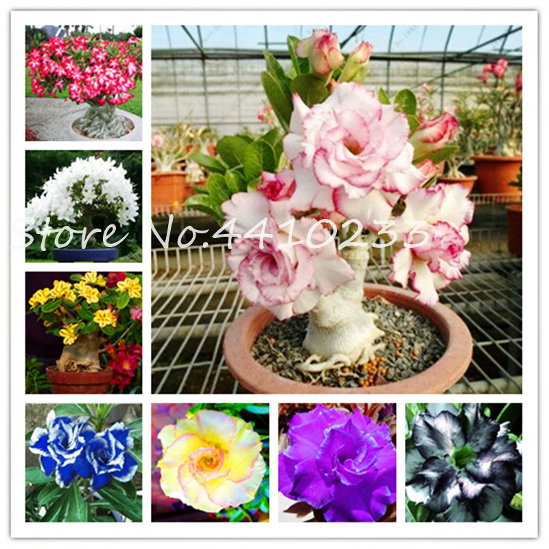 100% True Adenium Obesum Bonsai Exotic Desert Rose Flowers Balcony Desert-Rose Bonsai MultiColor Petals Succulents Tree 5 Pcs