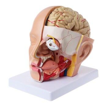 La nave de la gota de la anatomía humana cabeza cráneo y cerebro de la arteria Cerebral modelo anatómico para la enseñanza