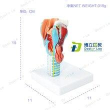 Teaching-Tool Throat-Model Blood-Vessel Larynx Laryngeal-Anatomical Magnification Thyroid