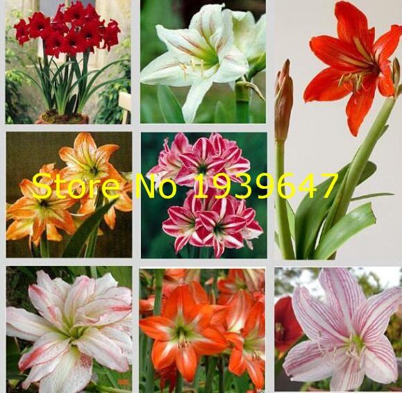 Free Shipping 100pcs / Bag True No Bulbs Flower Bonsai Flower Amaryllis Hippeastrum For Home & Garden Barbados Lily Flower Pot