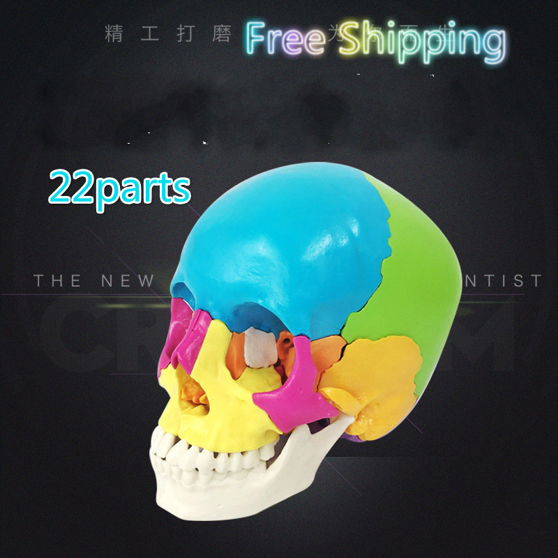Free Shipping 22 Parts Colored 1:1 Life-sized Human Head Skull Anatomy Assembly Medical Teaching Equipment