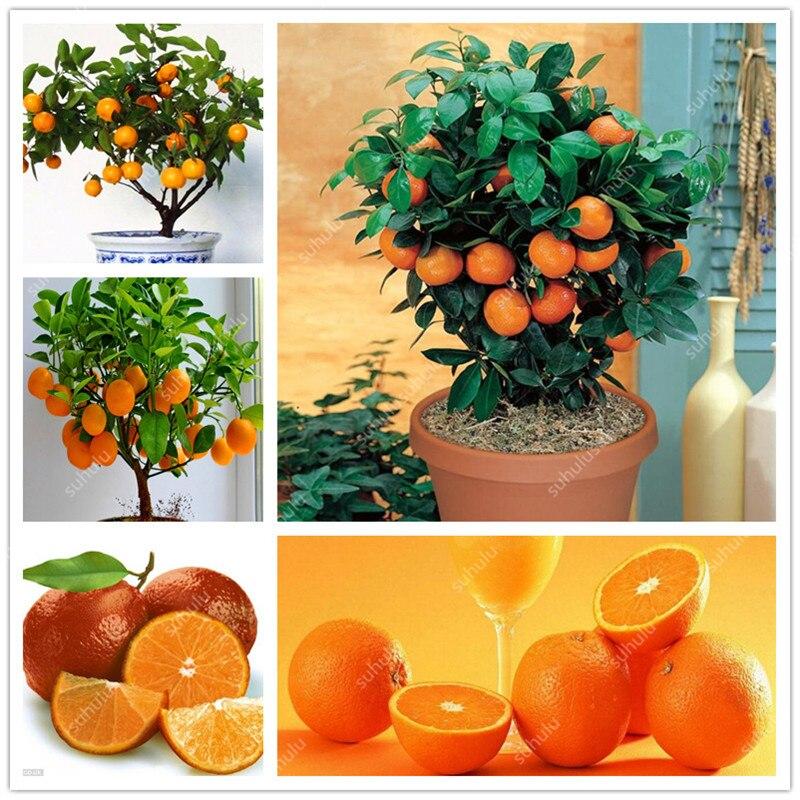 Bonsai 20 Pcs Orange Potted Edible Tangerine Citrus Fruit Dwarf Orange Tree Indoor Plant For Home Garden Non-GMO Plants