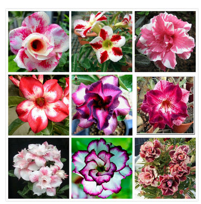 Desert Rose Seed Mixed Potted Flower Seed Easy Planten Seeds Kwiaty Ogrodowe Living Indoor Balcony Decoration