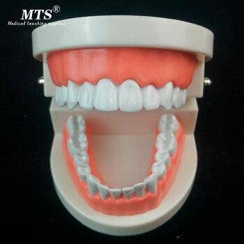 White Teeth Care Mold Adult Teeth Model Standard Dental Teaching Study Typodont Demonstration Too Dental Manekin High Quality dental 28 pcs 1 1 demonstration permanent teeth teach study model dentaldentist practice product typodont