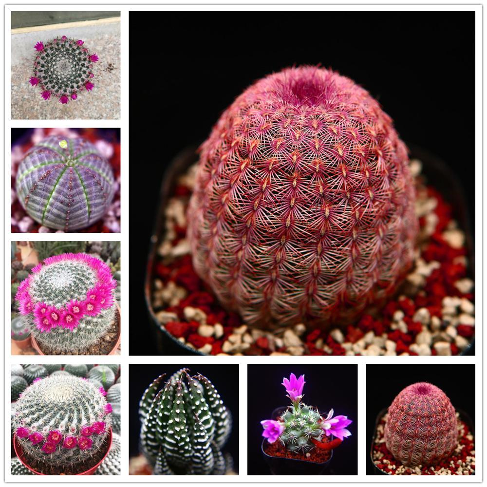 Plant Flower Bath Salts Yuweng Cactus Essence 100Pcs XZZ-201