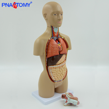1/2 life size human torso model dual-sex 16 parts internal organs brain heart stomach liver lungs urinary system anatomy tool цена 2017