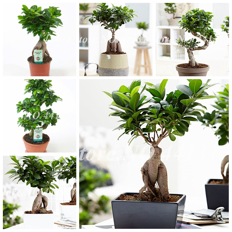 50 Pcs/ Bag Ficus Lyrata Bonsai Tree, Potted Balcony Banyan Tree Leaf Bonsai Garden Plants, Anti-Radiation, Purify The Air