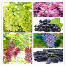 Wholesale Green Grape bonsai sweet and delicious fruit fruiting bonsai Villa grapes 20pcs/Pack(China)