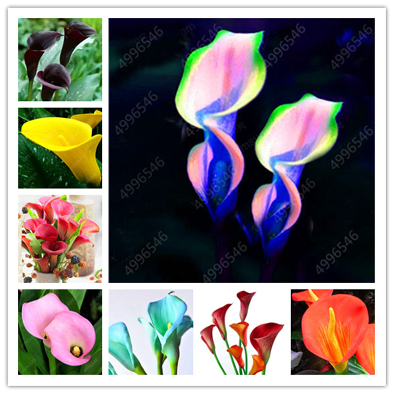 100 Pieces Calla Lily Bonsai Room Flower Calla Lily Aethiopica Outdoor And Indoor Indoor Potted Plant Home Garden Potted Plant W