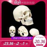 Modelo de cráneo de cabeza humana modelo anatómico medicina cráneo Anatomía Humana cabeza de estudio suministros de enseñanza de la anatomía