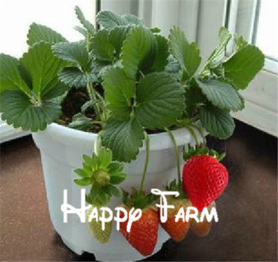 300pcs Big Giant Red Fruit Strawberry Flores DIY Garden Fruit Plantas Balcony Plante, Potted Plants, Garden Supplies, Bonsai,