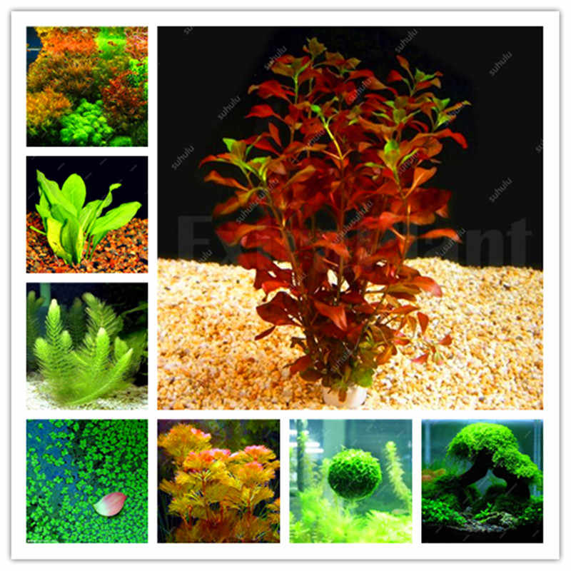 Sale!500 Pcs Aquarium Grass Bonsai Water Aquatic Plant Bonsai Family For Decorate The Aquarium Green Water Grass Decor Landscape