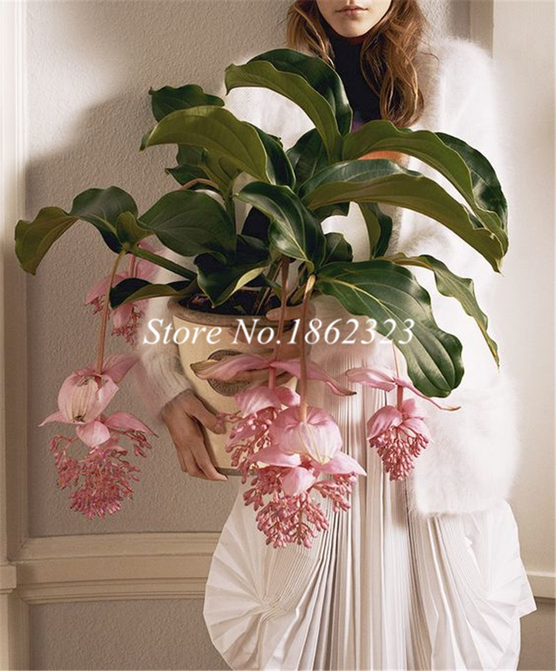 Medinilla Magnifica Plant Very Beautiful Bonsai Flower Plant For Home Garden Decoration Flower Plant 100Pc Office Desktop Flower