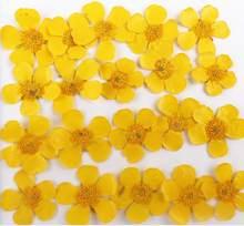 100pcs Natural Pressed Buttercup Ranunculus japonicus Flowers For Makeup Jewelry Postcard Invitation Card Phone Case DIY