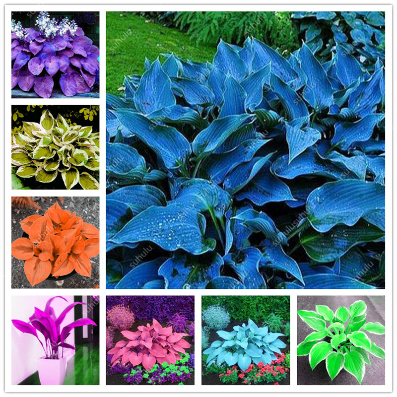 200 Pcs Mixed Colorful Bonsai Hosta Plant Beautiful Flower Bonsai White Lace Potted Foliage Plants For Home Garden Supplies