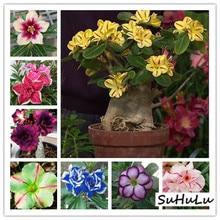 5 шт.,, настоящая пустынная Роза, экзотические растения Adenium Obesum, цветы, бонсай, растения для очистки воздуха, для дома, сада, цветы в горшках
