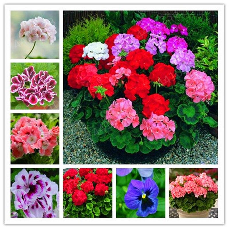 Hot Sale! 100 Pcs Mix Colorful Geranium Flowers Bonsai Plants Pelargonium Perennial Flowers Decoration Home Garden Plants
