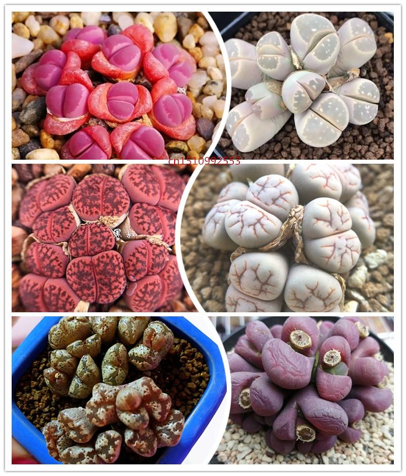 50pcs Richly Colorful Lithops Flower Succulentes Cactus