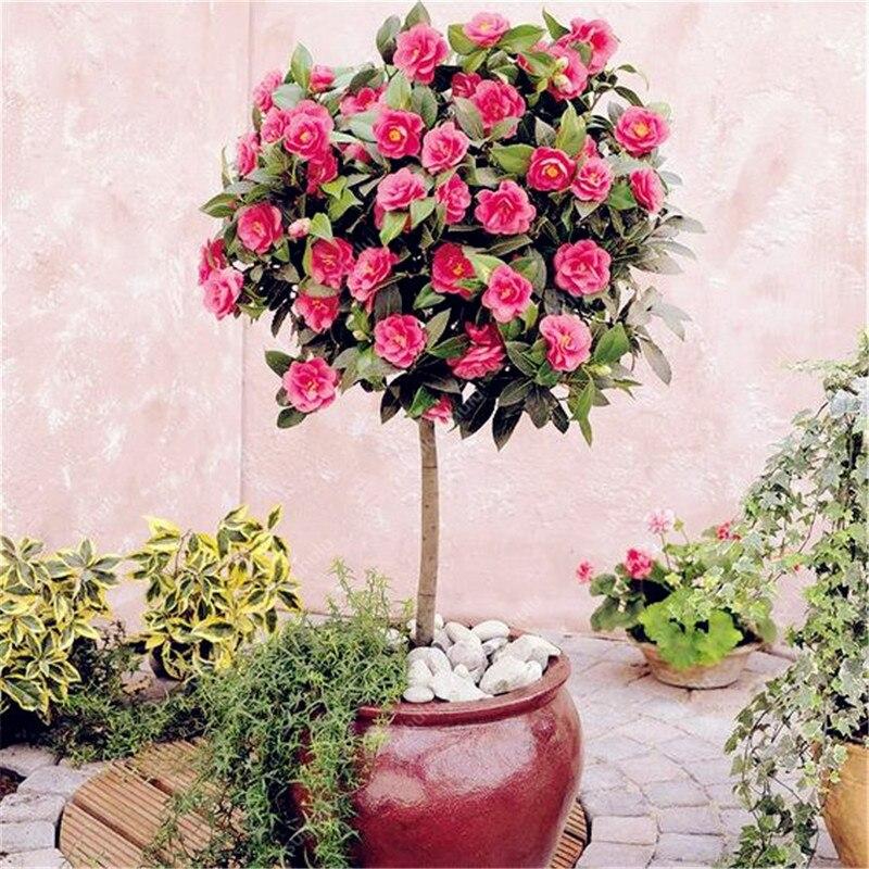 3 Pcs Camellia Bonsai DIY Potted Plants Flower Bonsai Perennial Indoor Outdoor Bonsai Pot Plant For Home Garden Decoration