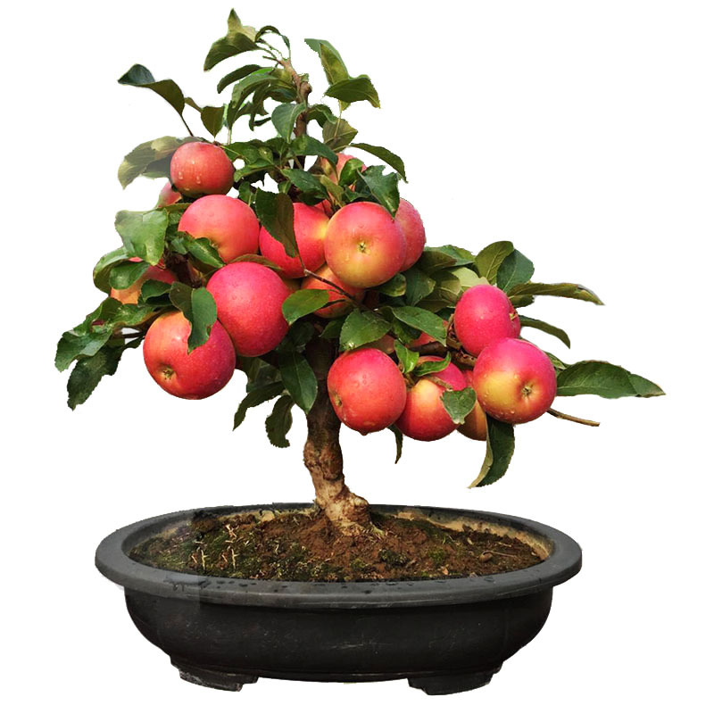 Authentic Dwarf Potted Plant Red Meat Apple Fruit Tree Seedlings Grafting Planted Fruit Tree North Four Seasons Balcony Planting