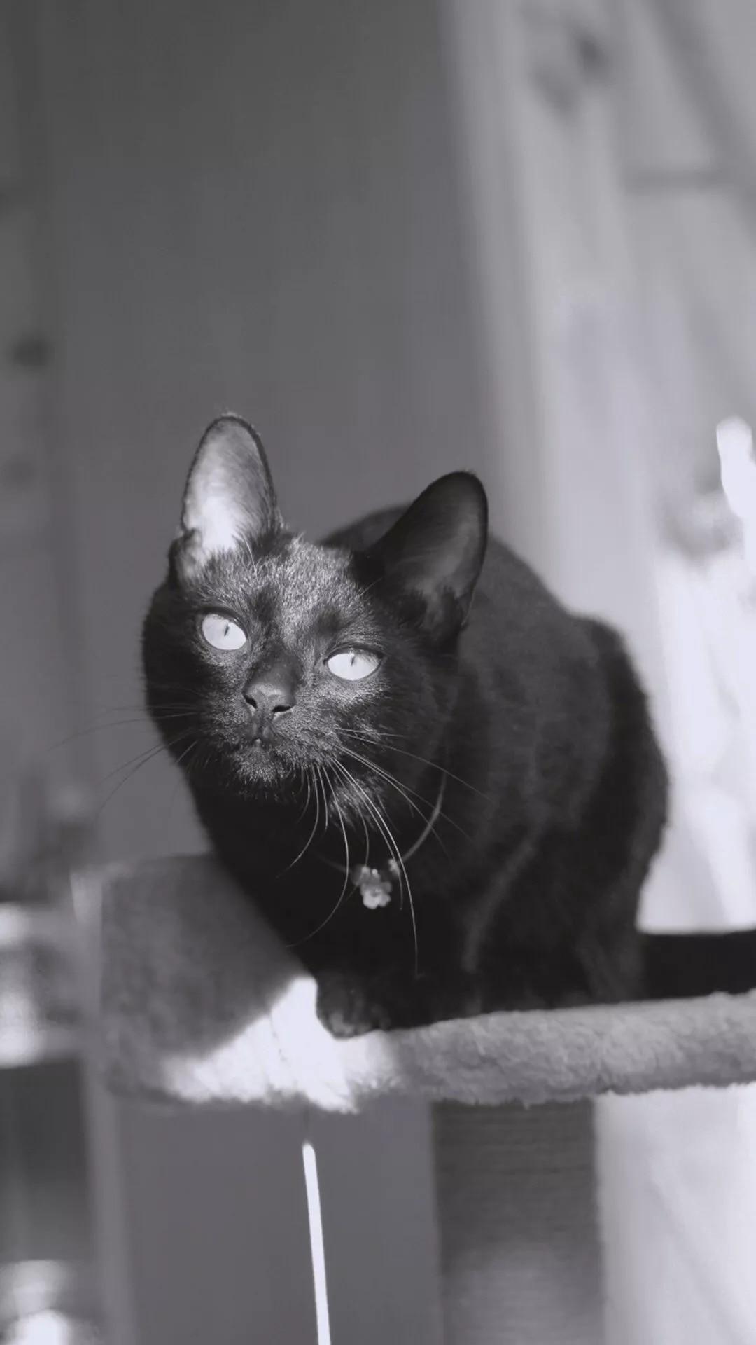 猫片壁纸:猫咪(黑猫图片)插图1
