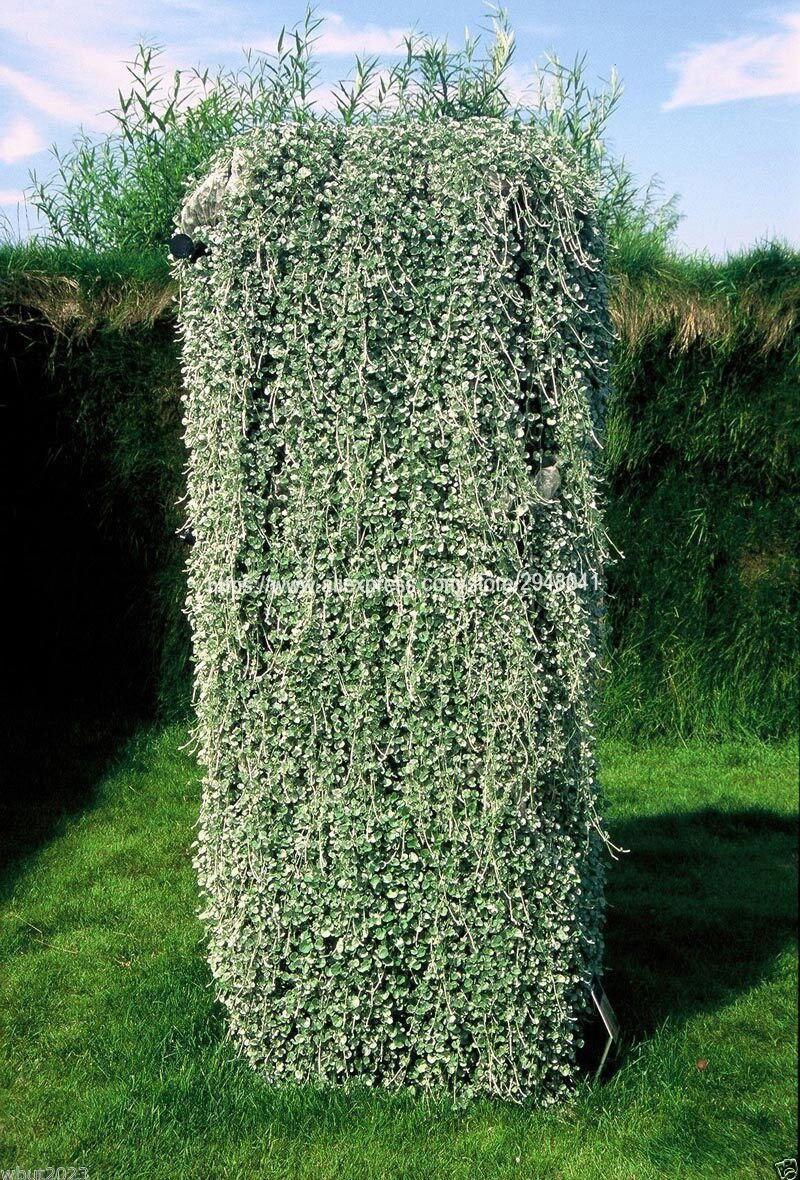 Lowest Price!50 Pcs / Bag Dichondra Repens Lawn Flores Money Grass Plantas Garden Plants Bonsai Flower Pot For Home Jardin Sem