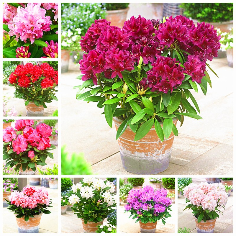 Sales!200 Pcs/ Bag Rare Rhododendron Azalea Bonsai Looks Like Sakura Japanese Cherry Blooms Flower Potted Plant For Garden Decor