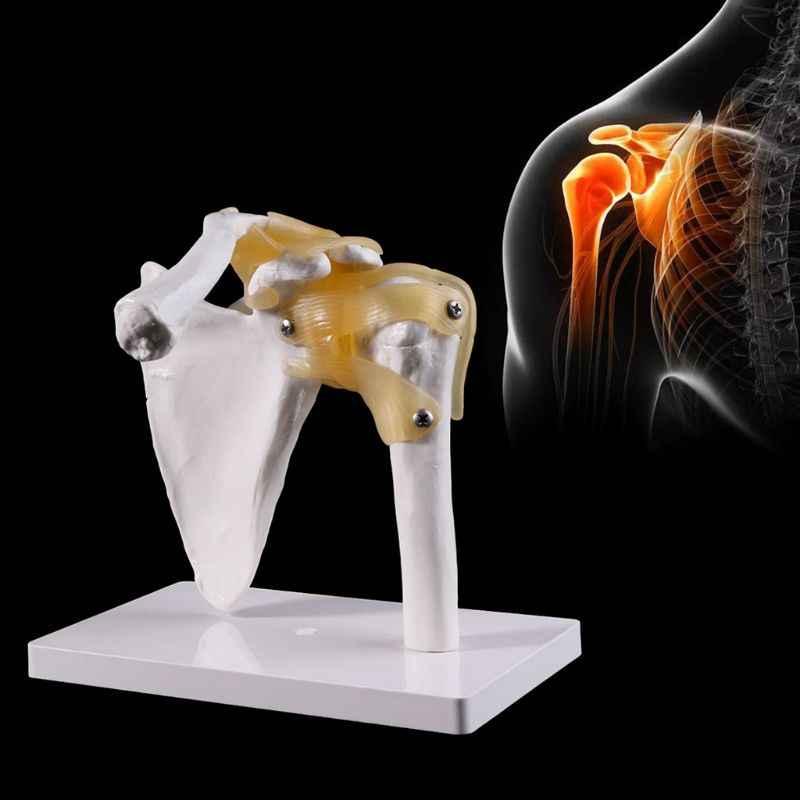 Funcional anatómica tamaño de vida humanos esqueleto de anatomía hombro hueso músculo Modelo para estudio pedagógico herramienta