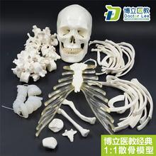 Натуральный размер модель человеческого скелета для обучения