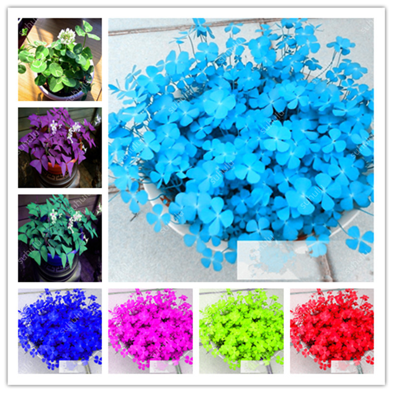 100 Pcs Four Leaf Lover Clover Bonsai, Indoor Grass Flower Easy Plant Four-Leaf Lover Bonsai Office Desk Beautifying Blooming