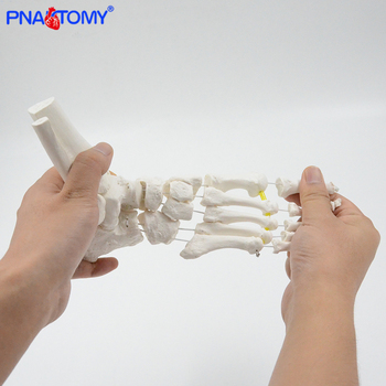 Flexible foot bone model adult size human skeleton anatomy medical teaching tool PVC material PNATOMY hospital gift skeletal life size human lumbar vertebrae model vertebra lumbalis intervertebral disc anatomy skeleton medical teaching tool pnatomy