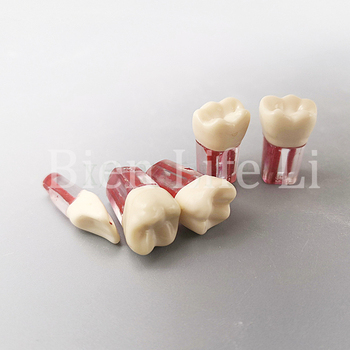 2 Pcs Dental Tooth Root Canal Model Demonstration for Student Practice Resin Training Product Dental Lab Teeth Model dental 28 pcs 1 1 demonstration permanent teeth teach study model dentaldentist practice product typodont
