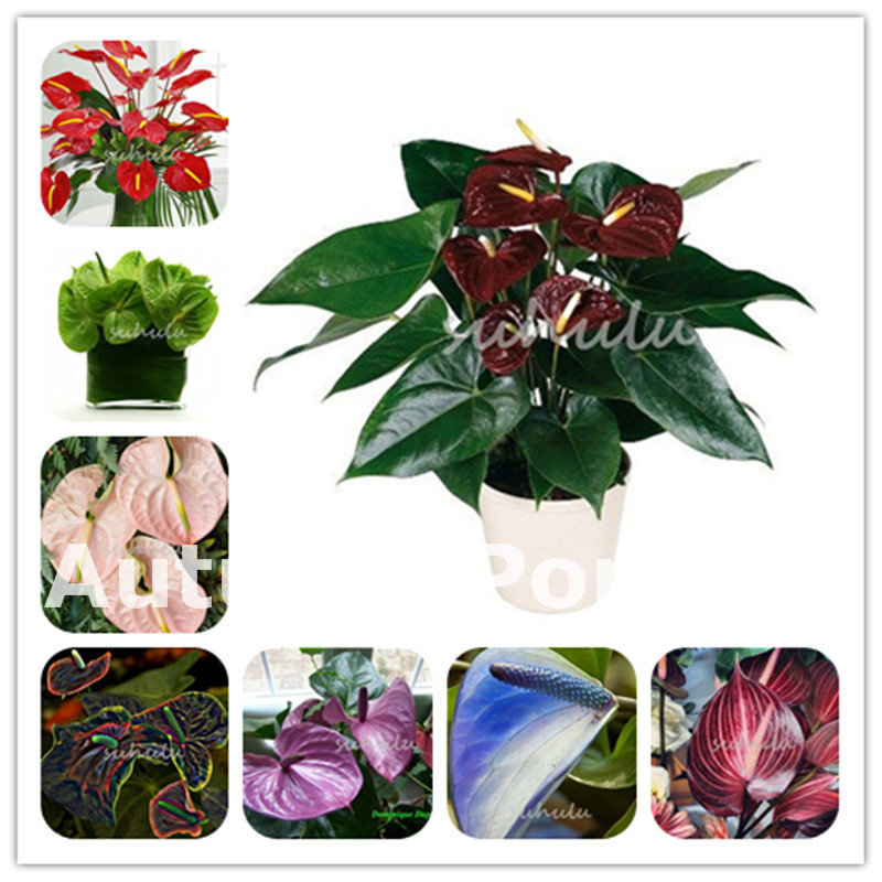 Free Shiping 150pcs Flower Plants Anthurium Andraeanu Bonsai Plantas Colorful Balcony Potted Diy Anthurium For Home Garden Deo