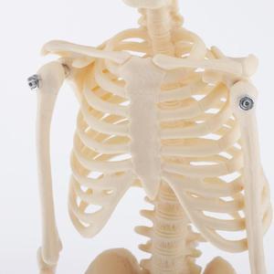 Image 5 - Anatómico humano esqueleto de anatomía decoración modelo esqueleto médico aprender ayuda, boceto de arte, muñeca, niños Juguetes