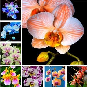 Orchid 100pcs Perennial Flower Phalaenopsis Bonsai Bonsai Home Garden Four Seasons Bonsai Flower Plants Easy To Grow