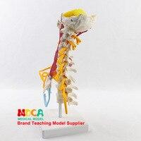 אדם צוואר הרחם התוקפת דגם עצם שלד רפואי דגם אדם גוף דגם הוראת ציוד-במדעי הרפואה מתוך ציוד למשרד ולבית הספר באתר