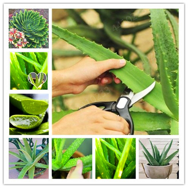 100 Pcs Aloe Bonsai Plants Bonsais Edible Beauty Cosmetic Houseplants Succulents Plants Bonsai For Home Garden Fast Growing