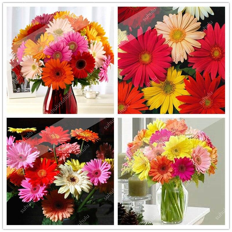 Sale! 100 Pcs Mixed Colors Gerbera Bonsai Indoor Bonsai Plant Flower Bonsai Family Perennial Garden Chrysanthemum Easy To Grow