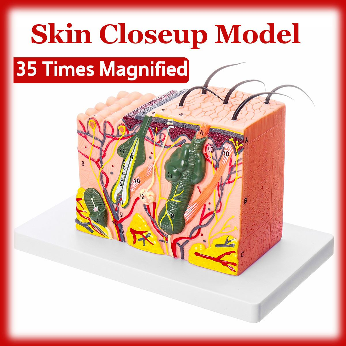 35 Times Magnified 3D Human skin model Block enlarged Plastic hair Layer structure Anatomical Anatomy Medical Teaching Tool