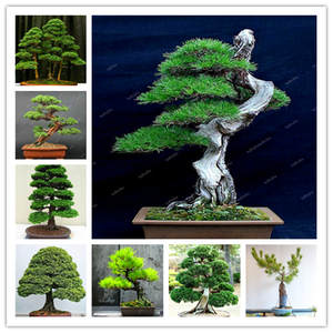 Online Shop For Bonsai Plants Wholesale With Best Price