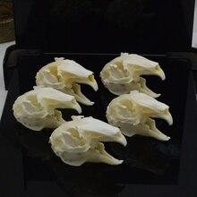 Cottontail rabbit,bunny Rabbit Skull specimen Animal bone specimen (Natural Bone Quality A)